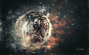 Picture cat, the explosion, tiger