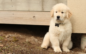 Picture white, earth, Board, portrait, dog, baby, cute, puppy, face, sitting, Golden, structure, Retriever