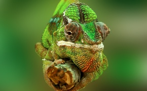 Wallpaper chameleon, eyes, nature