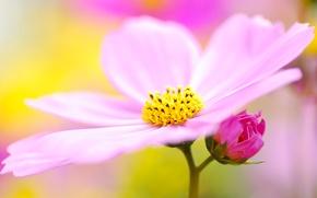 Picture pollen, macro, kosmeya, lilac, flower, pink, blur, petals