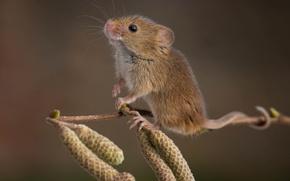 Picture branch, mouse, alder