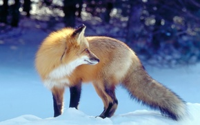 Picture winter, Fox, Fox