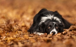 Picture autumn, look, leaves, foliage, dog, bokeh, The border collie