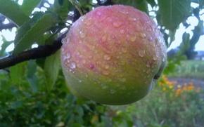 Picture drops, rain, Apple, Summer, fruit