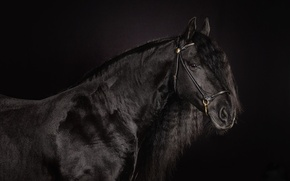Picture horse, horse, mane, handsome, crow