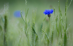 Wallpaper Rosa, Cornflower blue, field, flower, spikelets