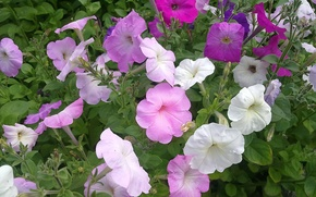 Picture summer, Flowers, Petunia, modest beauty
