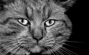 Wallpaper b/W, face, cats