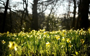 Picture flowers, nature, glade, spring, yellow, buds, daffodils