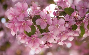 Picture branches, pink, Apple