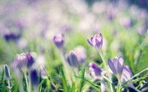 Picture lilac, spring, crocuses, crocuses
