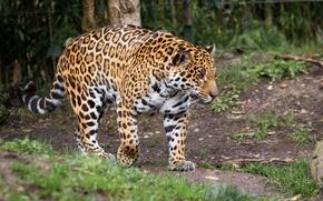 Picture predator, power, spot, Jaguar, walk, wild cat, zoo