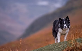 Picture landscape, mountains, dog, the border collie, Wallpaper from lolita777