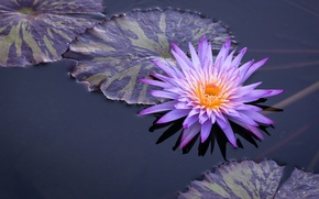 Picture leaves, water, water Lily