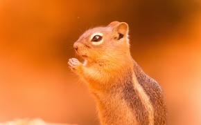 Wallpaper background, animal, rodent, Chipmunk
