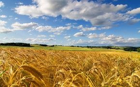 Picture wheat, field, summer, the sky