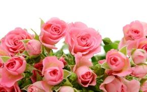 Wallpaper pink, flowers, roses, roses