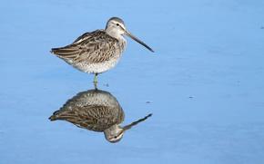 Picture bird, lake, reflection, wildlife, dowitcher