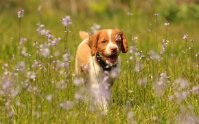 Wallpaper dog, flowers, puppy, walk, pointing dog, Epagnol Breton, The Brittany, meadow