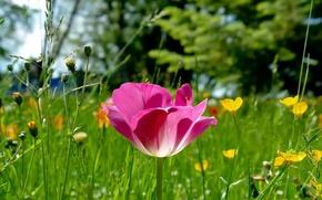 Picture grass, nature, pink, glade, Tulip, focus
