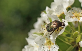 Picture macro, flowers, beetle, insect, Wallpaper from lolita777, brantovka Golden