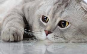 Picture cat, cat, look, reflection, muzzle