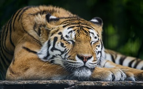 Picture cat, sleep, sleeping, the Amur tiger, ©Tambako The Jaguar
