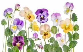 Picture leaves, nature, petals, stem, viola, fiolka tricolor, anytine eyes