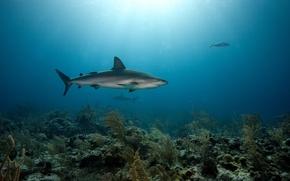 Wallpaper sea, predators, the bottom, corals, sharks