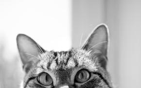 Picture eyes, cat, black and white, muzzle, ears, curiosity