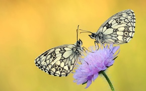 Picture flower, drops, butterfly, Rosa, background, two