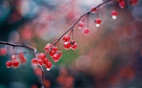 Picture drops, glare, berries, wet, branch