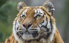 Picture cat, look, face, tiger, Amur, ©Tambako The Jaguar