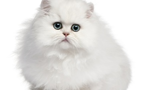 Picture cat, cat, white background, kitty