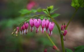 Picture flower, branch, pink, broken heart, the bleeding heart