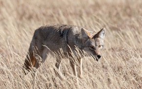 Picture grass, look, coyote