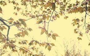 Picture Flowers, Sakura, Beauty