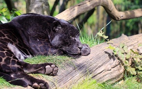 Picture lies, black Jaguar, predator, stay, paws, Panther, face, profile, zoo, wild cat, spot