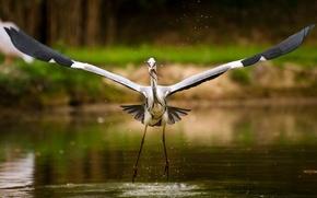 Wallpaper fish, lake, stork