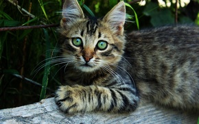 Picture cat, eyes, cat, look, kitty, fluffy, village