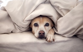 Picture dog, bed, blanket, looks