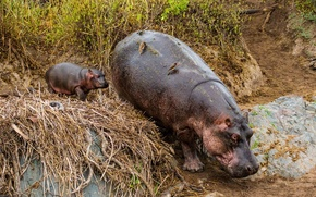 Wallpaper Hippopotamus, Tanzania, animals
