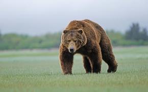 Wallpaper bear, grass, brown