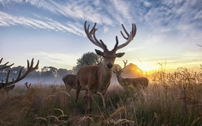 Picture dawn, Deer, wildlife