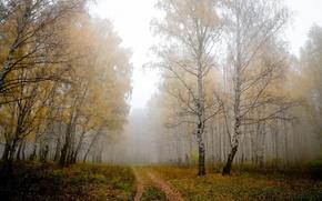 Picture fog, birch, Road