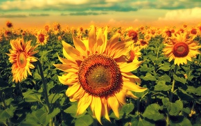 Picture field, sunflowers, flowers, flowering