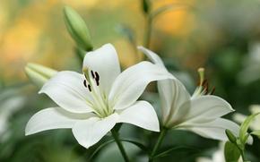 Wallpaper macro, white, Lily