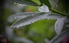 Picture leaves, drops, Rosa, plant