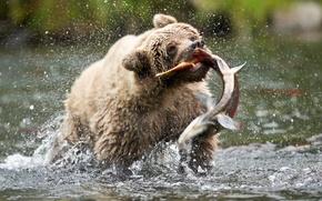 Wallpaper salmon, bear, brown bear, USA, MommaD photos, Russian river, squirt, catch, fish, Alaska, bear, drops