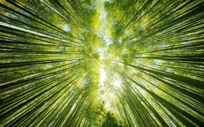 Picture forest, the sky, the sun, nature, up, bamboo